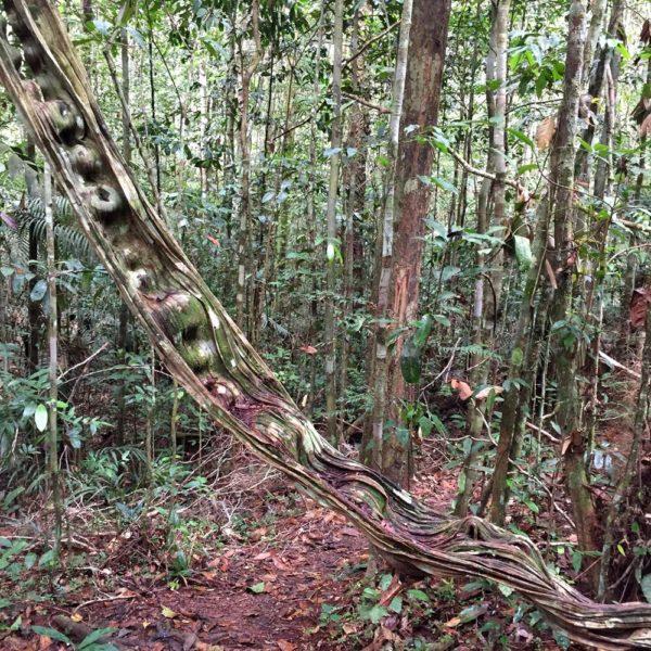 Cipó Escada de Jabuti, segundo Tito, nosso guia